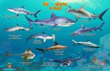 Franko's Fiji Sharks & Rays Identification Card by Frankos Maps Ltd.