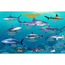Franko's Florida Sharks and Rays Identification Card by Frankos Maps Ltd.