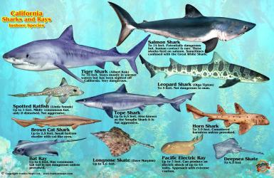 Franko's California Sharks & Rays Identification Card by Frankos Maps Ltd.