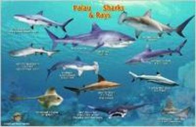 Palau Sharks & Rays Card by Frankos Maps Ltd.