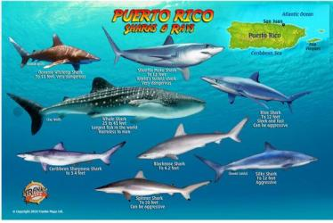 Puerto Rico Sharks & Rays Card by Frankos Maps Ltd.